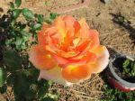 jodi-rose