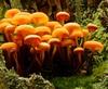 many yellow mushrooms