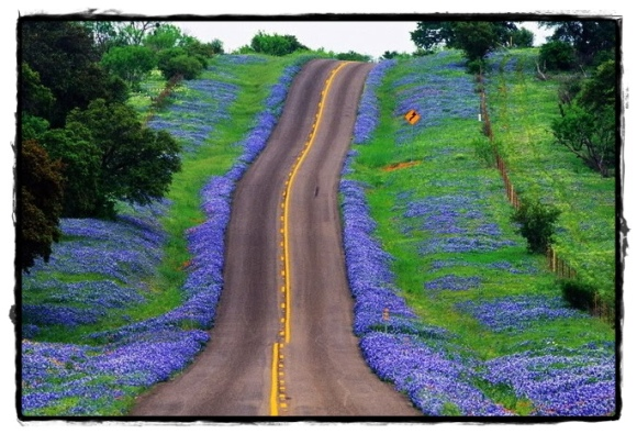 bluebonnets along the highway