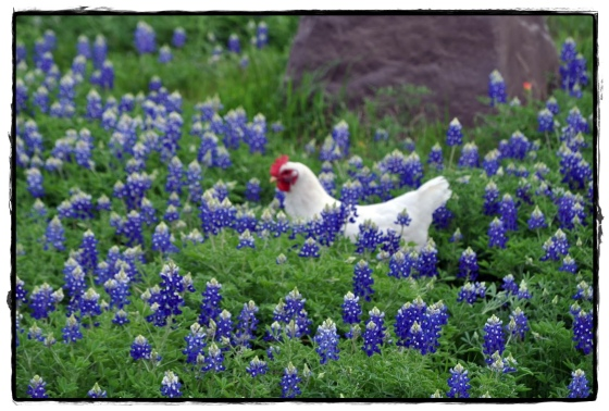 Chicken in Bluebonnets