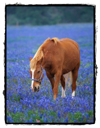 Horse standing in bluebonnets