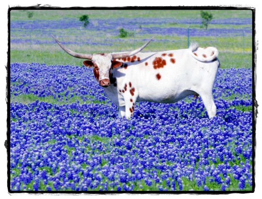 Longhorn eating bluebonnets