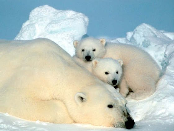 Polar-Bear-and-Cubs-