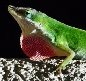 green lizard 05