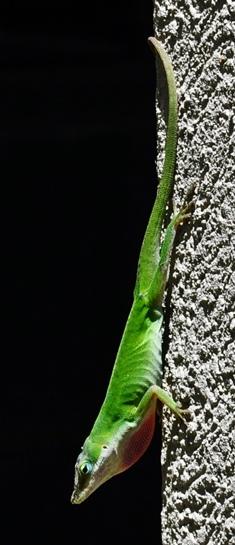 green lizard 06
