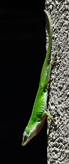 green lizard 07