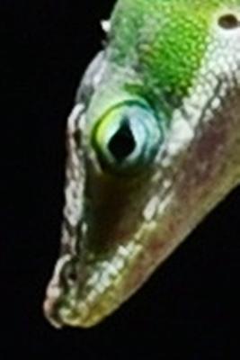 green lizard 08