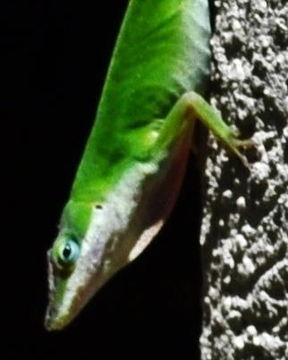 green lizard 09