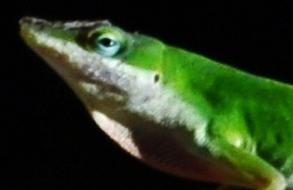 green lizard 10