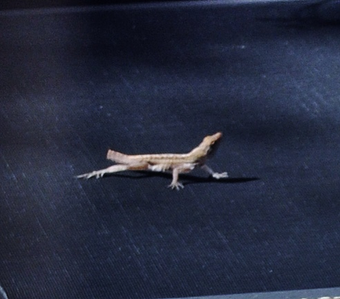 lizard without tail 02