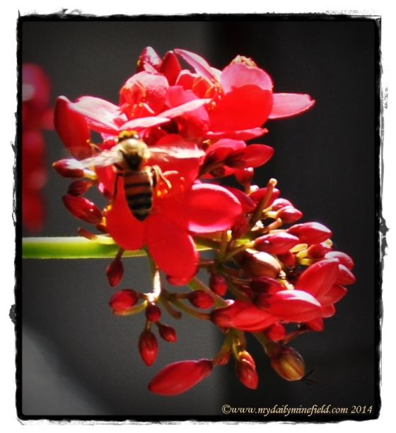 Honey Bee on red flower