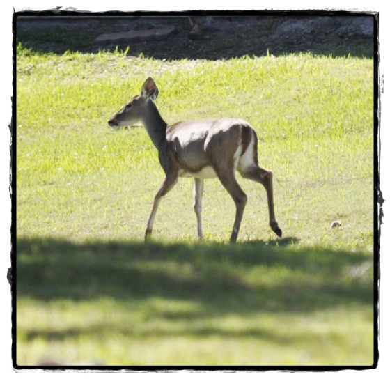 Deer 030a