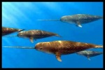 A Pod of Narwhals.  Pretty Cool!